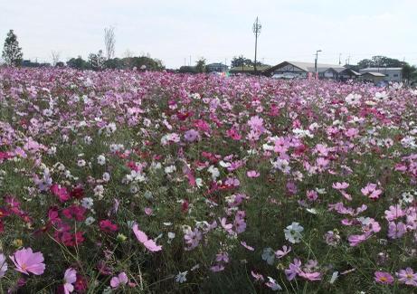 20101024_kosumosu1