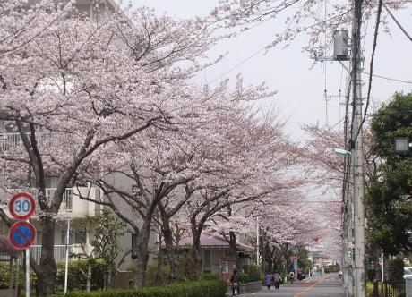 20110048_sakura1