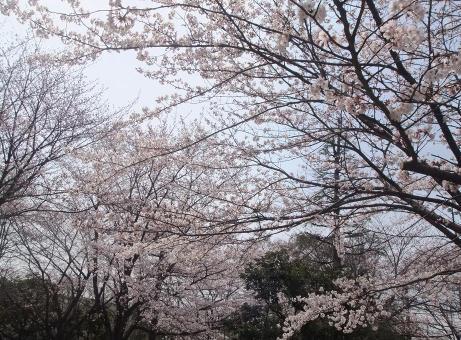 20110048_sakura2