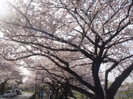 20110411_mizumoto_sakura1