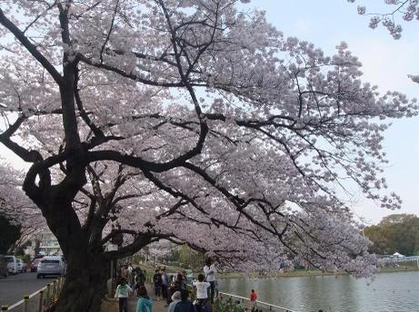 20110411_mizumoto_sakura2