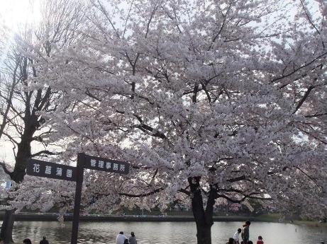 20110411_mizumoto_sakura3