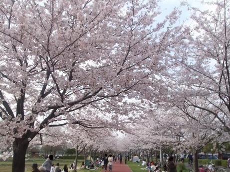20110412_misato_sakura1