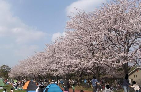 20110412_misato_sakura2