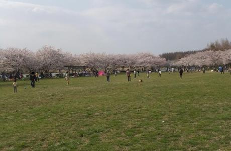 20110412_misato_sakura3