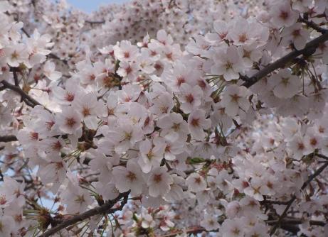 20110412_misato_sakura5