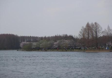 20110412_misato_sakura6