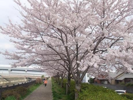 20110413_misato_sakura1