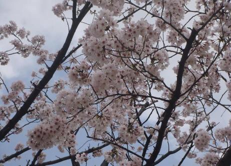 20110414_sakura_park4