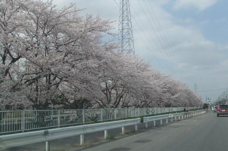 20110415_sakura_douri1