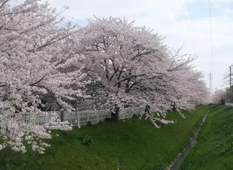 20110415_sakura_douri5