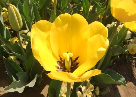 20110420_tulip2