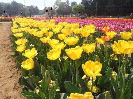 20110420_tulip5