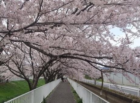 20110521_sakura_road