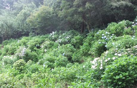 20110705_ajisai4