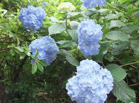20110715_ajisai_sinen2