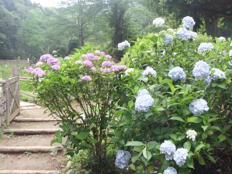 20110718_ajisai