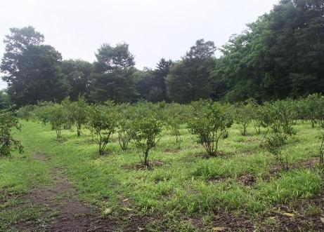 20110815_blueberry_mori3