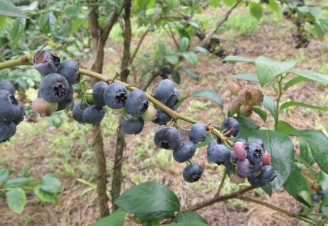 20110815_blueberry_mori5