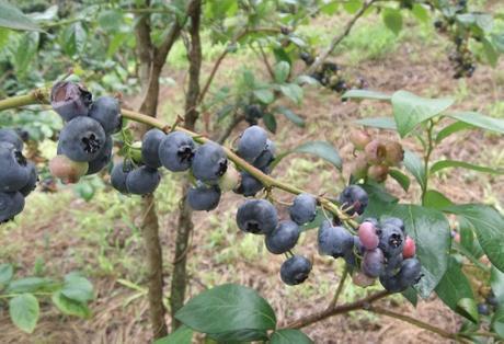 20110827_blueberry1_2