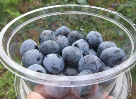 20110827_blueberry2_2