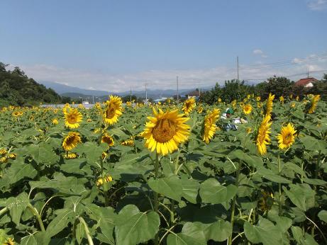 20111012_himawari_batake1