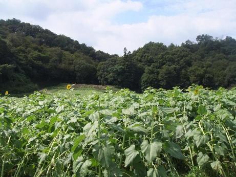 20111012_himawari_batake5