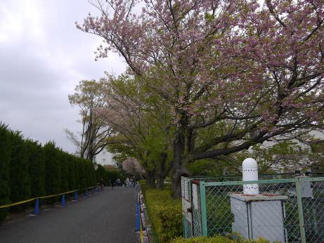 20120424_sakura