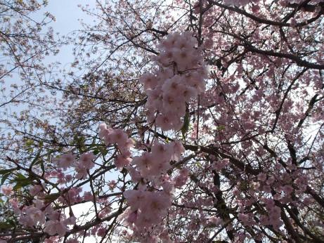 20120515_shidare_zakura2