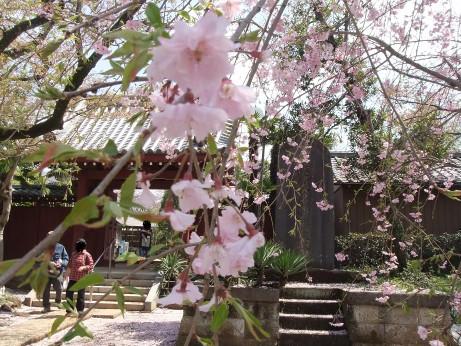 20120515_shidare_zakura3