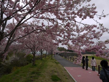 20120523_sakura03