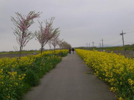 20120528_sakura_namiki3