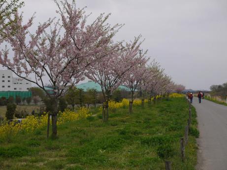 20120528_sakura_namiki5