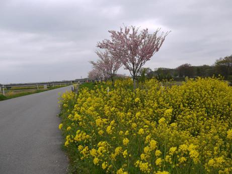 20120528_sakura_namiki6