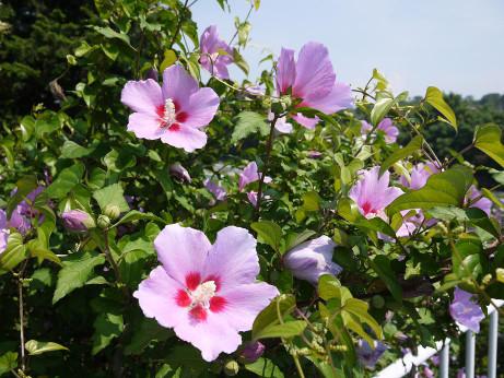 20120812_flower