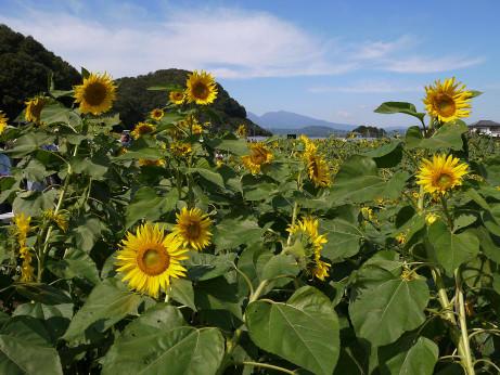 20121015_himawari5
