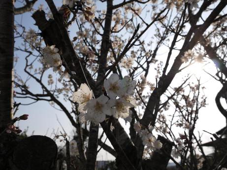 20130322_sakura