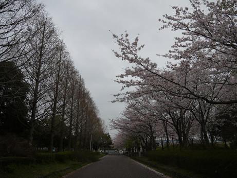20130401_sakura1