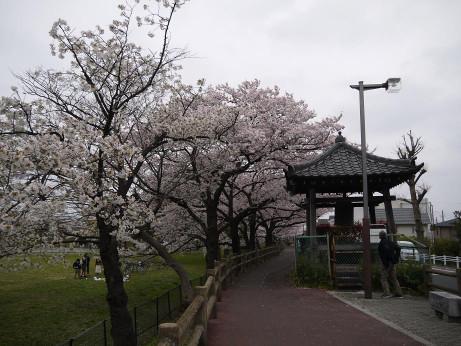 20130402_sakura5
