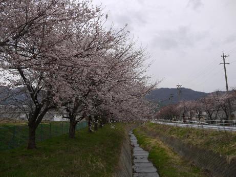 20130409_sakura2