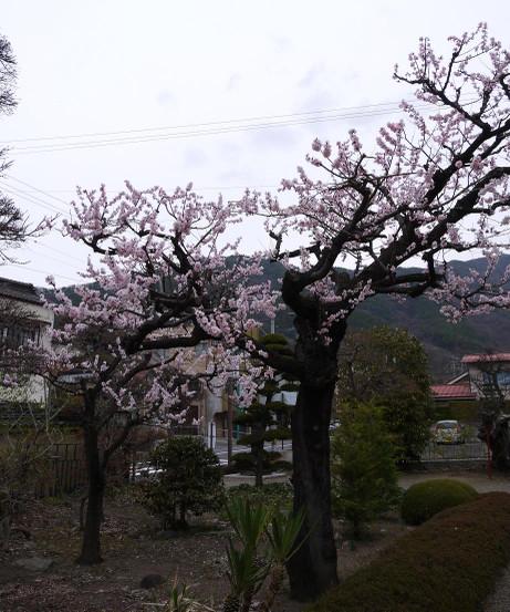 20130416_sakura