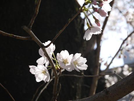 20130419_sakura