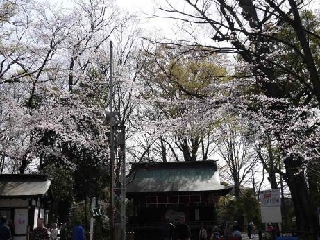 20130421_sakura2