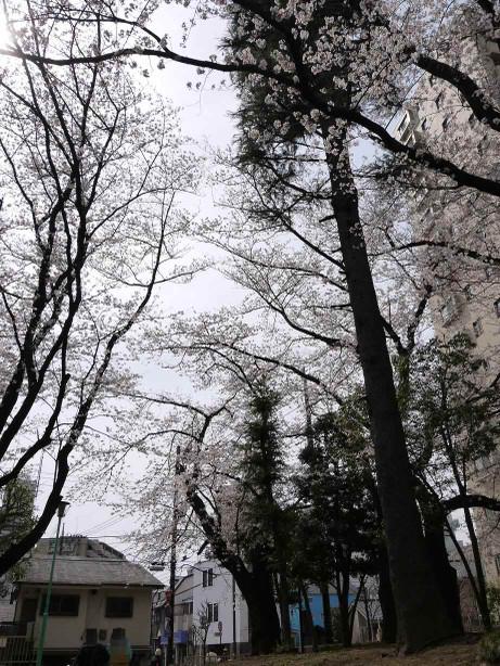 20130424_sakura