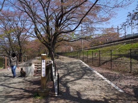 20130516_jinrokuzakura_park