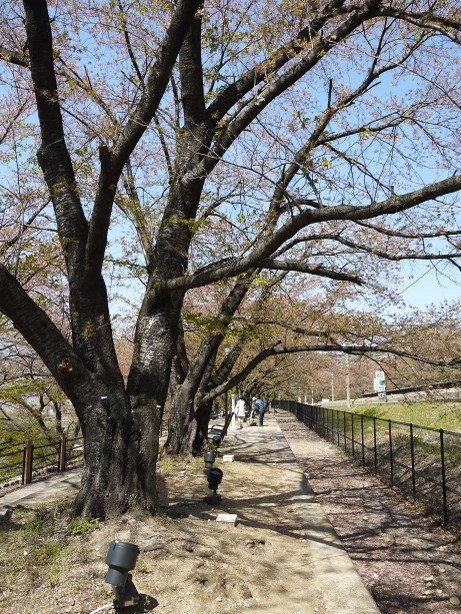 20130516_jinrokuzakura_park3