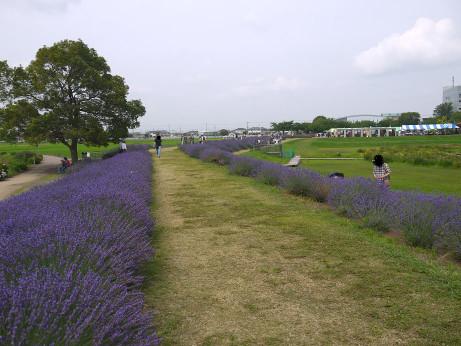 20130705_lavender03