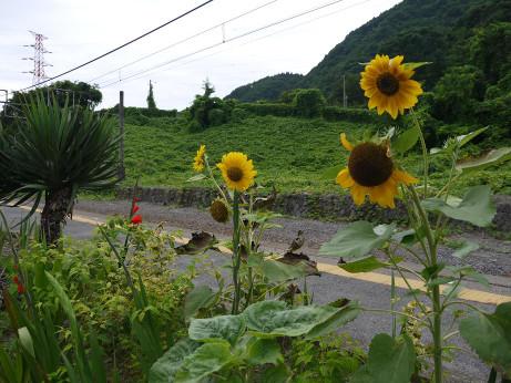 20130810_himawari