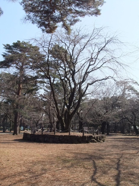 20140201_sidare_sakura