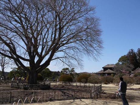 20140328_sakon_no_sakura